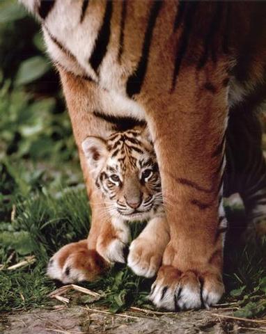 http://valleyofthedogs.files.wordpress.com/2009/03/tiger-cub.jpeg
